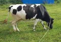 HF And Jersey Cows For Sale In Tumkur Karnataka