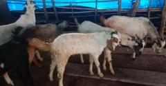 Pure Nati Goats For Sale In Kanakapura Karnataka