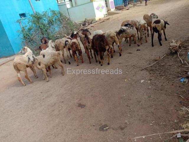 18 Sheeps For Sale In Madhugiri Taluk Karnataka