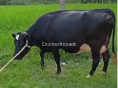 HF Cow For Sale Tumkur Karnataka