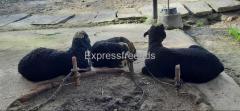 Sheeps For Sale In Bhadravathi Shimoga Karnataka