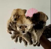 Toy Pomeranian For Sale In Vijayawada Andhra pradesh