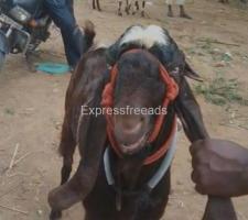 Jamunapari Goat For Sale In srinivaspur karnataka