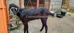 Goat For Sale in Nelamangala Bangalore Karnataka