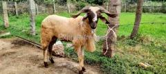 Sheeps For Sale Bangalore Karnataka