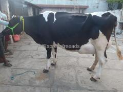 Hf cow for sale in punganur Chittoor dist AP