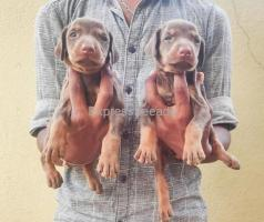 Doberman puppies available For Sale In Tumkur District Karnataka