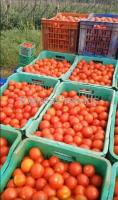 daily 700 to 1000  tomato boxes available For Sale in Madanapalle Ap