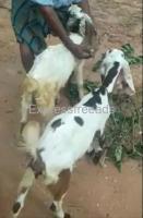 Male and female Goats for sale in Chikballapur district Karnataka