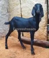 Hyderabadi Female Goats At Low Price In Madhugiri karnataka