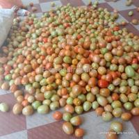 Tomatoes Direct from farm For Sale In Aynur shimoga Karnataka