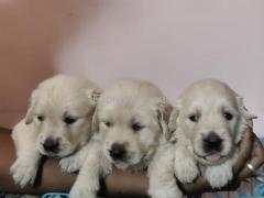Top quality of our golden retriever puppies For Sale In Bangalore