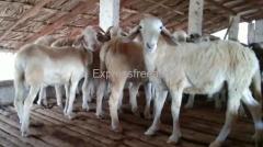 Nati Sheeps For Sale In Chamarajanagar Karnataka