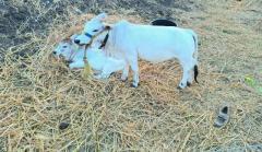 Punganur Cow For Sale In Bhimavaram Andhra Pradesh
