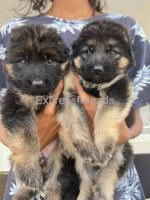 GSD long coat females with KCI certification