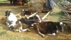 6 HF Calf  For Sale In Tumkur District karnataka