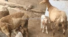 8 Sheeps for Sale In Doddaballapur Taluk Karnataka