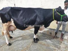 Hf and jersey cows for sale in punganur