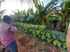 10 ton Villiams banana For Sale In Hosadurga karnataka