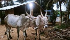 OX For Sale In Mandya Karnataka