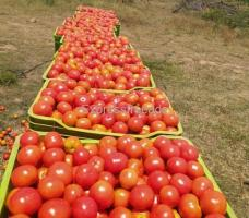 Tomatoes For Sale In Kalyandurg Anantapur District Andhra Pradesh