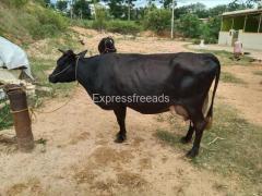 Cow For Sale ramanagara district