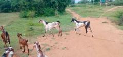 Goats For Sale In near Dobbaspet