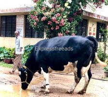 HF Cows For Sale In Tiptur karnataka