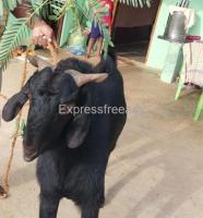 Osmanabadi Goats for Sale in Kunigal Taluk