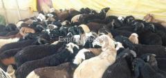 83 Sheeps For Sale In Haveri District karnataka