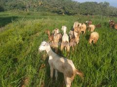 12 Goats For Sale In dabbas Pet Karnataka