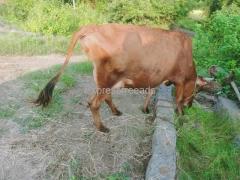 Cow for sale In Karimnagar district Telangana