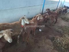 Sheeps For sale In Vijayanagara district Karnataka