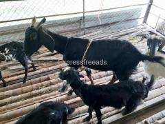 Pure osmanabadi 2 females Goat's for sale Ramanagara District