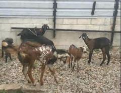 7 nati goats for sale In Bangalore Karnataka