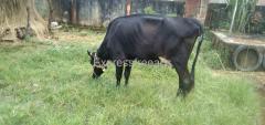 HF Cow Cross For Sale in Shimoga Karnataka
