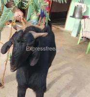 Osmanabadi Goats for Sale in Kunigal Taluk Karnataka