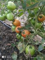 200kg Tomato Available For Sale In Near Hassan