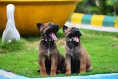 Top Quality  Malinois Male and Female puppies For Sale