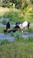 12 Nati Goats For Sale In Kunigal Karnataka