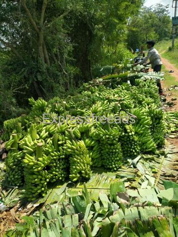 yelakki Banana For Sale In Mysore District Karnataka