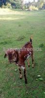Male Goat For Sale In Ramanagara District Karnataka