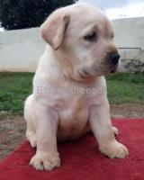 Labrador Retriever Female puppy For Sale