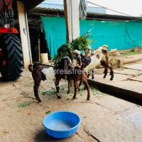 Male Goats For Sale In Kolar