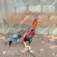 kodi pachakaki patta available For Sale In Vijayawada