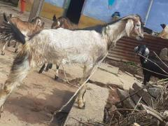 Nati Goats For Sale In Bhadravathi Shimoga District Karnataka