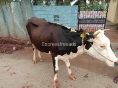 Cow For Sale In Hesaraghatta Bangalore Karnataka