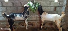Kota breed Goats For Sale In Mysore All India Transportation Available