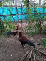 Top quality Fighter chicken available at gudivada