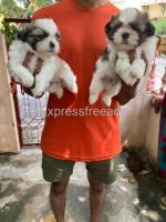 Shih Tzu male puppies available At Bangalore